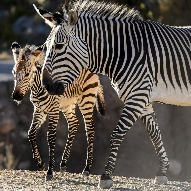 Clementine, left, a baby zebra, is seen with her mother, Zoe, at Utah's Hogle Zoo in Salt Lake City on Tuesday Oct. 30, 2018. (Trent Nelson/The Salt Lake Tribune via AP)