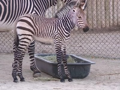 Salt Lake City's Hogle Zoo introduced baby zebra Clementine Tuesday to the public. Zoo officials say Clementine was born last week and was 85 pounds at birth. (Oct. 30)