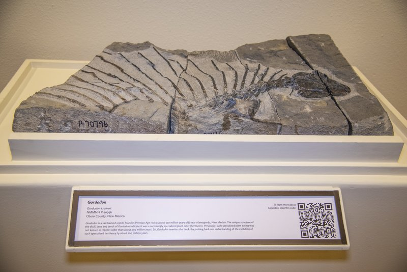 This image provided by the New Mexico Department of Cultural Affairs shows the fossil exhibit of Gordodon, a specialized plant-eating reptile, on display at the New Mexico Museum of Natural History & Science in Albuquerque, N.M. The fossil bones were discovered near Alamogordo by Ethan Schuth while on a University of Oklahoma geology class field trip in 2013. (New Mexico Department of Cultural Affairs via AP)