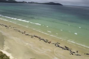 Over 145 pilot whales die in 'heartbreaking' stranding on New Zealand beach
