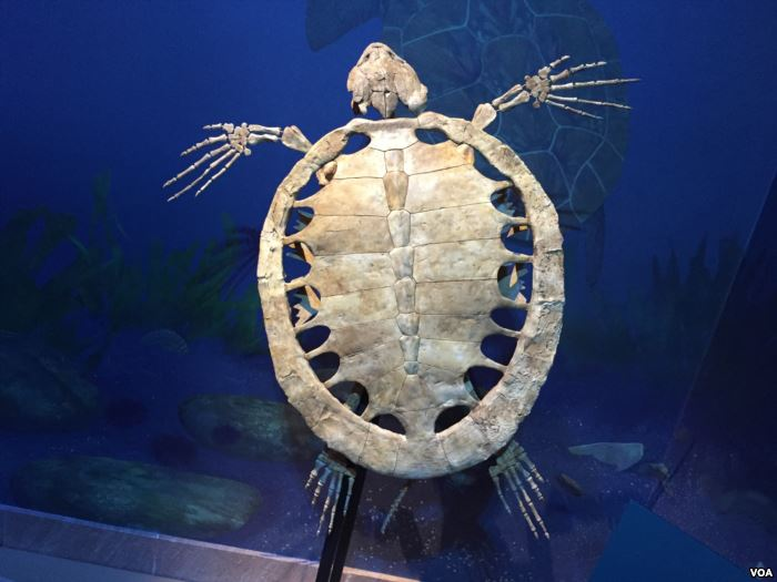 This full-size fossil reconstruction of a sea turtle from the prehistoric Sou