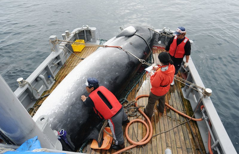 In this Sept. 2013, photo, a minke whale is unloaded at a port after a whaling for scientific purposes in Kushiro, in the northernmost main island of Hokkaido. (Kyodo News via AP)