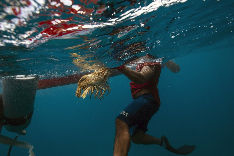 In this Sept. 9, 2018 photo, a diver holds onto his catch of lobsters during a fishing journey in the Miskito coast near Cay Savannah, Honduras. ($3) per pound of lobster. An average 10-pound daily haul of lobster is a windfall for people in one of the most impoverished regions of the Americas, so many take the risk, and many suffer for it. (AP Photo/Rodrigo Abd)