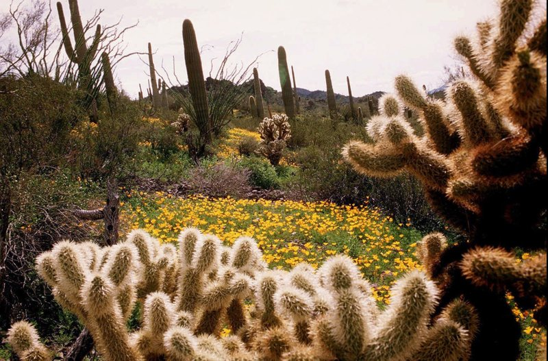 FILE - In this Feb. 19, 1998, file photo, Teddy bear cholla cactus, foreground, as well as other succulents dot the landscape among the bright yellow Mexican gold poppies at Picacho Peak State Park near Tucson, Ariz. (242 hectares) of Southern California land for $140,000 and deeded it to the Mojave Desert Land Trust, The Desert Sun newspaper reported. (James S. Woods/Arizona Daily Star via AP, File)