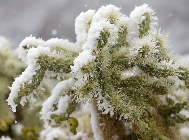 FILE - In this Feb. 20, 2013, file photo, snow covers a cholla cactus during a snow storm in Marana, Ariz. (AP Photo/Ted S. Warren, File)