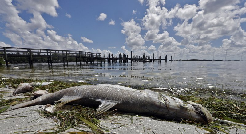 FILE- In this Aug. 6, 2018, file photo, a dead Snook lies along the water's edge in Bradenton Beach, Fla. (AP Photo/Chris O'Meara, File)