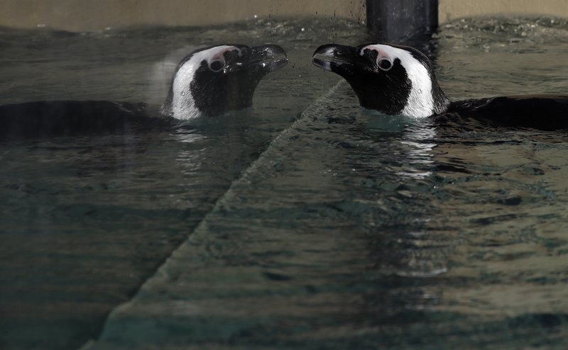 A jackass penguin is reflected on the glass of a pool during the presentation to journalists of this endangered specie at the Rome's zoo, Thursday, Dec. (AP Photo/Alessandra Tarantino)