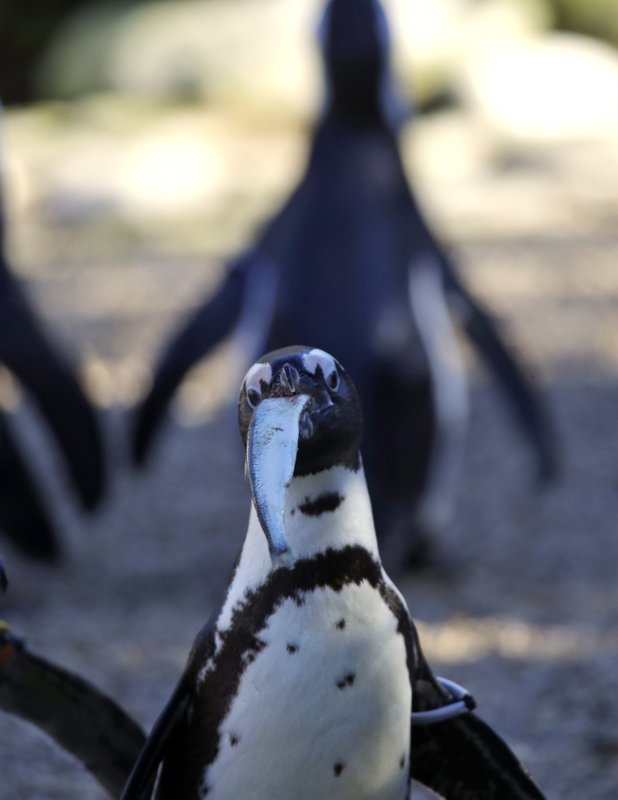 A Jackass penguin is fed with fish during the presentation to journalists of this endangered specie at the Rome's zoo, Thursday, Dec. (AP Photo/Alessandra Tarantino)