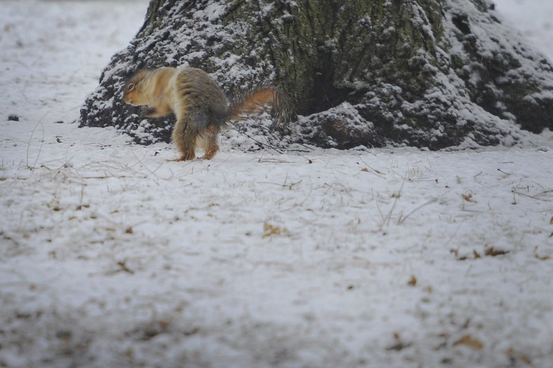 Squirrels run through McKennan Park in the snow Thursday, Dec. 27, 2018, in Sioux Falls, S.D. The weather service in Sioux Falls, South Dakota says rain is changing over to snow from west to east Thursday with heavy snow and gusty winds through Friday. (Briana Sanchez/The Argus Leader via AP)