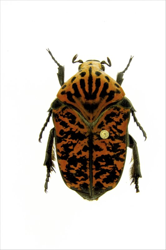 This undated photo provided by Brett Ratcliffe in December 2018 shows a Gymnetis viserioni beetle from the Calima Valley in Colombia. (Brett Ratcliffe via AP)