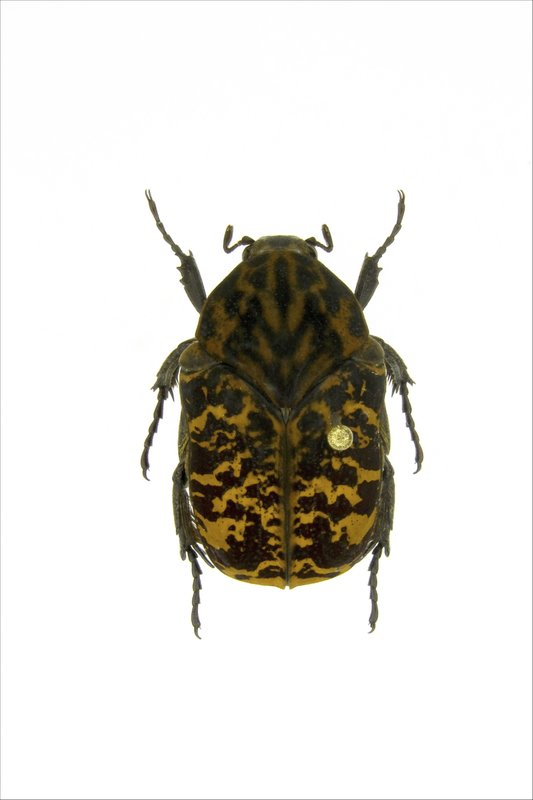 This undated photo provided by Brett Ratcliffe in December 2018 shows a Gymnetis rhaegali beetle from Macouria, French Guyana. (Brett Ratcliffe via AP)