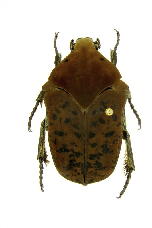 This undated photo provided by Brett Ratcliffe in December 2018 shows a Gymnetis drogoni beetle from Buga, Colombia. (Brett Ratcliffe via AP)