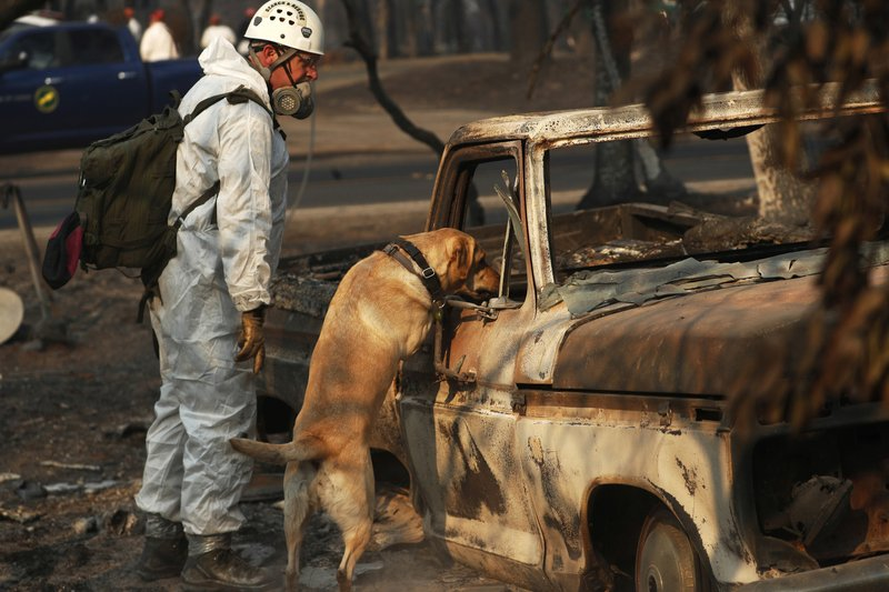 FILE - In this Nov. 16, 2018, file photo, a recovery dog searches for human remains in Paradise, Calif. (AP Photo/John Locher, File)