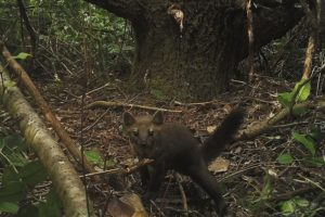 State agrees to timeline for Humboldt marten rules hearing