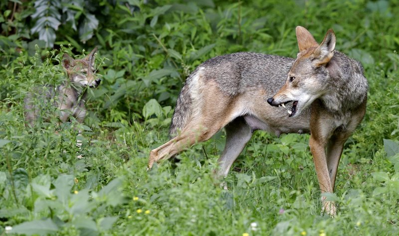 FILE - In this June 13, 2017 file photo, a red wolf female peers back at her 7-week old pup in their habitat at the Museum of Life and Science in Durham, N. (AP Photo/Gerry Broome, File)