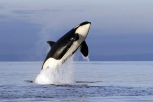 Scientists ID another possible threat to orcas: pink salmon