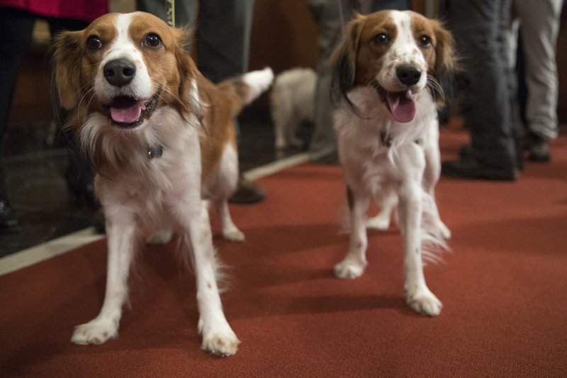 FILE - In this Jan. 10, 2018 file photo, Nederlandse kooikerhondje Escher, left, and Rhett are shown during a news conference at the American Kennel Club headquarters in New York. (AP Photo/Mary Altaffer, File)