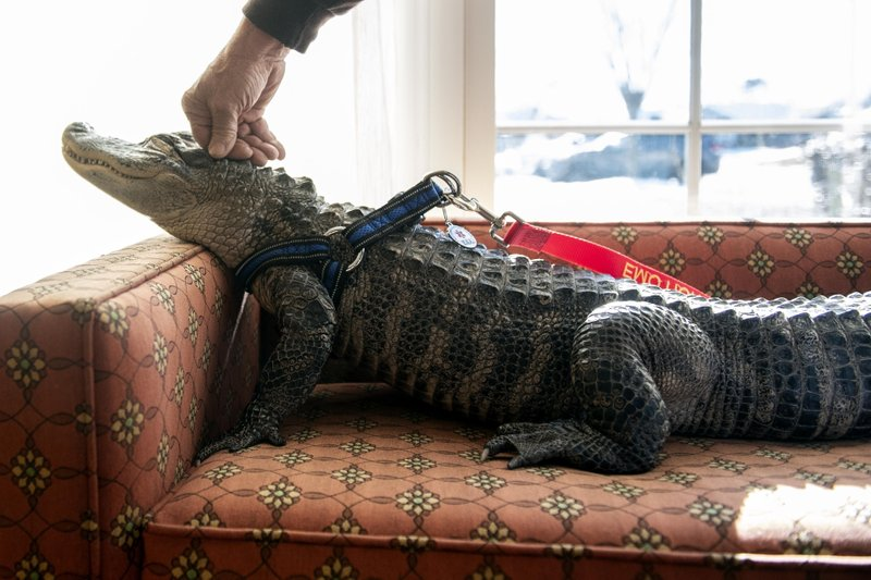 In this Jan. 14, 2019, photo Wally, a 4-year-old emotional support alligator, soaks up the sun while his owner, Joie Henney, rubs his head at the SpiriTrust Lutheran Village in York, Pa. (Ty Lohr/York Daily Record via AP)