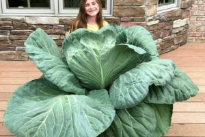 9-year-old's green thumb brings green cash for giant cabbage