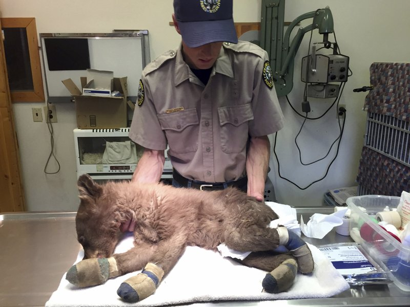 In this June 27, 2018, file photo provided by Colorado Parks and Wildlife, Michael Sirochman, a veterinary technician for Colorado Parks and Wildlife, treats a bear cub whose paws were burned in a Colorado wildfire. (Joe Lewandowski/ Colorado Parks and Wildlife via AP, File)