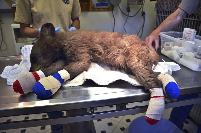 FILE - In this June 27, 2018 file photo provided by Colorado Parks and Wildlife, a female bear cub lies on a table with bandages on her burned paws in Del Norte, Colo. (Joe Lewandowski/ Colorado Parks and Wildlife via AP, File)
