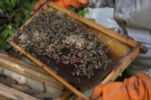 Bolivian bees under threat from coca pesticides