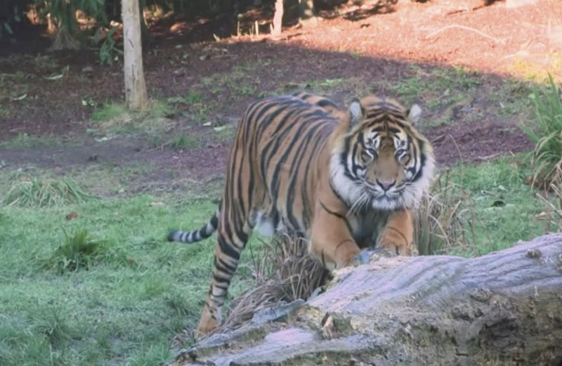 This image taken from video and made available by London Zoo, shows Sumatran tiger named Asim at London Zoo, Wednesday Jan. (London Zoo via AP)