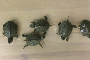 Pennsylvanian pleads guilty to trafficking protected turtles