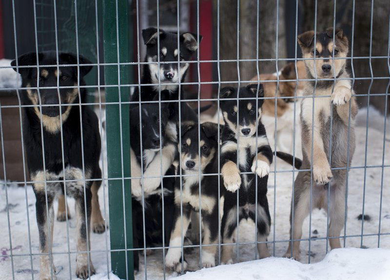In this photo taken on Thursday, Jan. 31, 2019, stray dogs look out of the enclosure. in Vilnius, Lithuania . (AP Photo/Mindaugas Kulbis)