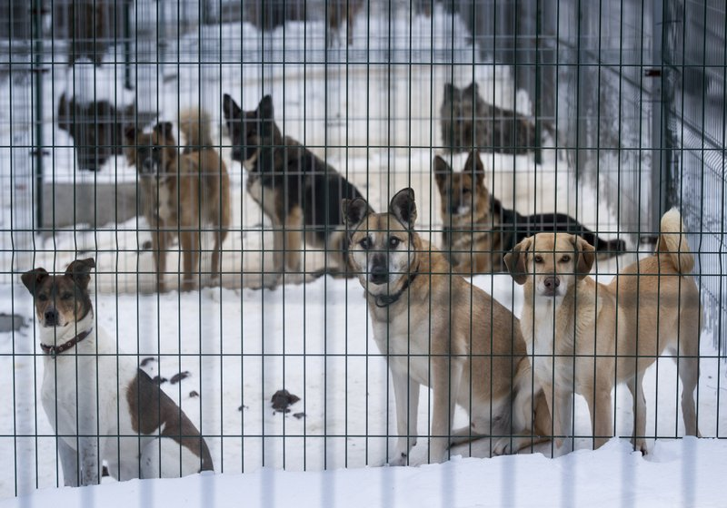 In this photo taken on Thursday, Jan. 31, 2019, stray dogs look out of their enclosure at a dog shelter in Vilnius, Lithuania. (AP Photo/Mindaugas Kulbis)