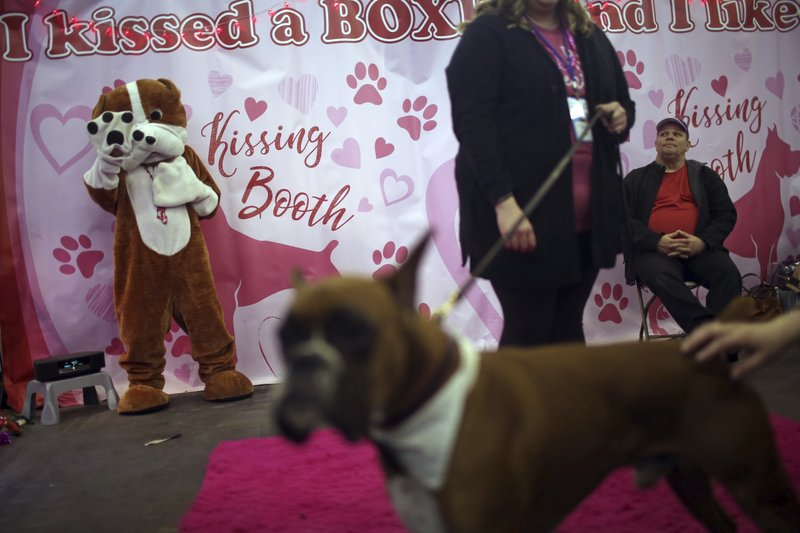 A boxer mascot, backleft, dances while people pet a real dog in the foreground during the meet the breeds companion event to the Westminster Kennel Club Dog Show, Saturday, Feb. (AP Photo/Wong Maye-E)