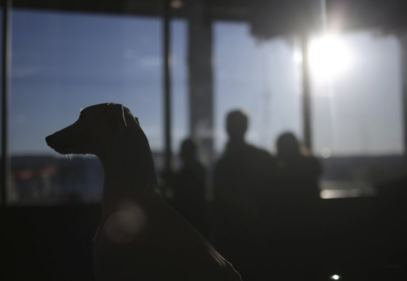 Hattie, a 3-year-old whippet is silhouetted during the meet the breeds companion event to the Westminster Kennel Club Dog Show, Saturday, Feb. (AP Photo/Wong Maye-E)