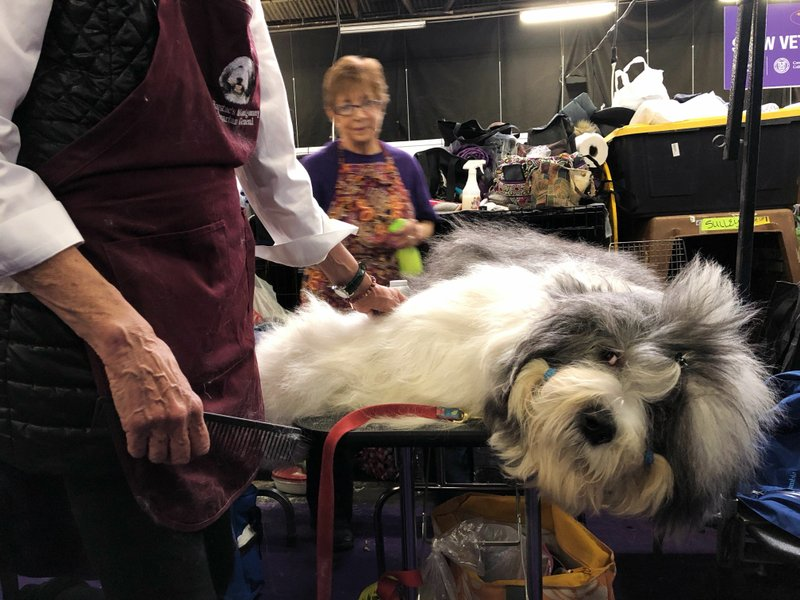 Monty, an Old English Sheepdog, is groomed ahead of competing at the Westminster Kennel Club dog show in New York on Monday, Feb. (AP Photo/Jake Seiner)