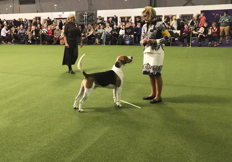An English foxhound, the only one of its breed to compete, appears at the Westminster Kennel Club dog show on Monday, Feb. (AP Photo/Jennifer Peltz)