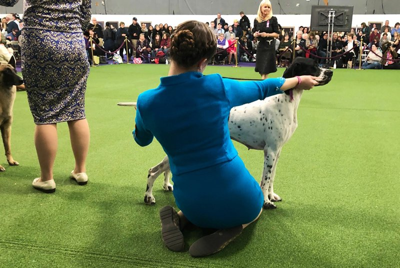A young handler and dog compete in junior showmanship at the Westminster Kennel Club dog in New York on Tuesday, Feb. (AP Photo/Jennifer Peltz)