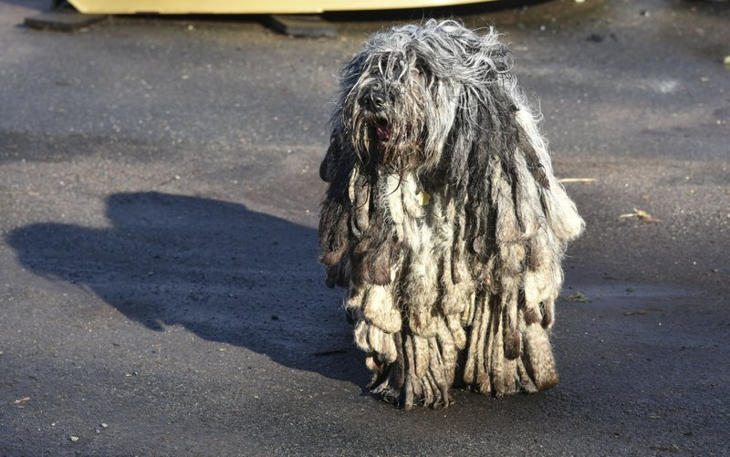 In this Friday, Feb. 8, 2019, photo, a Bergamasco Shepherd plays on the Tuttle Road farm where they were born in Durham, Conn. (Bailey Wright/Record-Journal via AP)