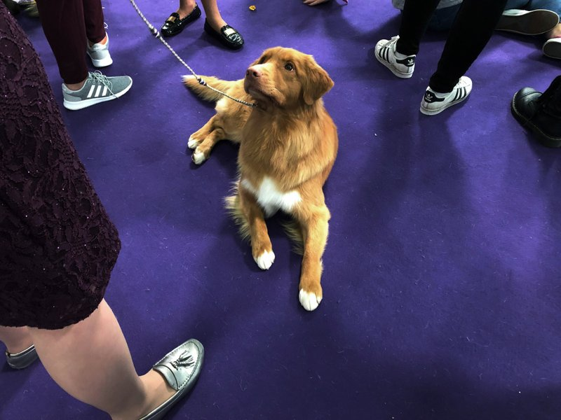A Nova Scotia duck tolling retriever waits to go in the ring in the junior showmanship competition at the Westminster Kennel Club dog show in New York on Tuesday, Feb. (AP Photo/Jennifer Peltz)