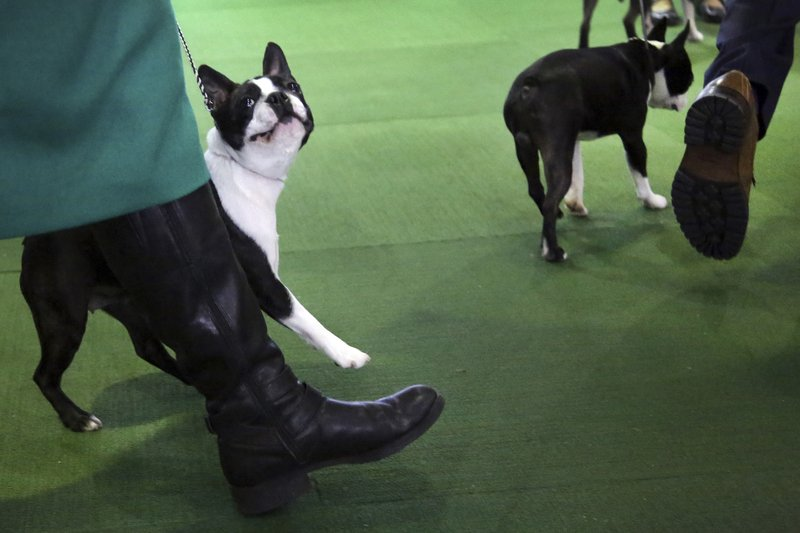 A Boston terrier looks at its handler during the Best in Breed event at the Westminster Kennel Club dog show on Monday, Feb. (AP Photo/Wong Maye-E)
