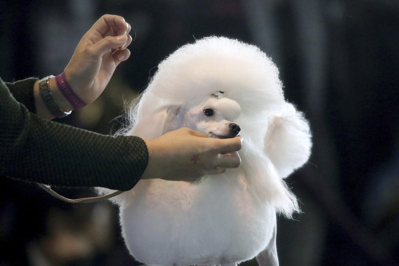 A toy poodle is groomed ahead of the Best of Breed event at the Westminster Kennel Club dog show on Monday, Feb. (AP Photo/Wong Maye-E)