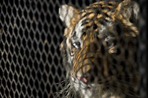 Woman finds tiger in house, tells dispatch: 'I'm not lying'