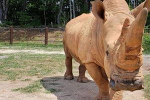 Beloved rhinoceros dies at age 49 in North Carolina zoo