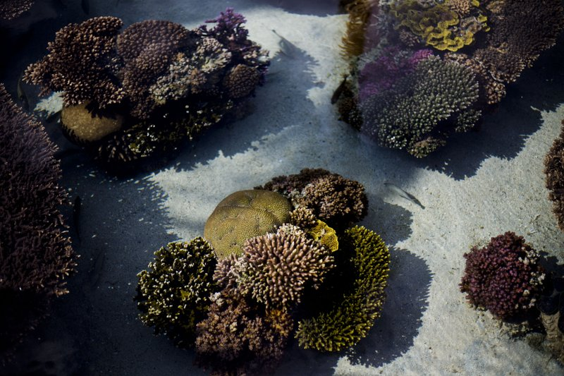 In this Monday, Feb. 11, 2019 photo, healthy corals are exhibited at the marine observatory in the Red Sea city of Eilat, southern Israel. (AP Photo/Ariel Schalit)