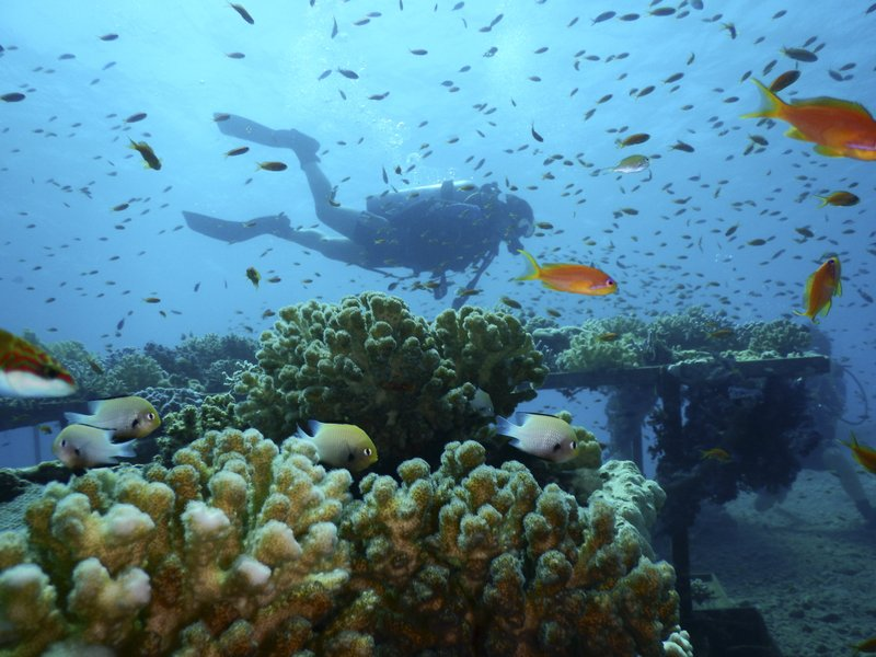This Thursday, Jan. 17, 2019 photo, provided by the Interuniversity Institute for Marine Sciences, IUI, shows corals at the institute's coral farm in the Red Sea city of Eilat, southern Israel. (Interuniversity Institute for Marine Sciences/Dror Komet via AP)