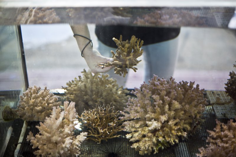 In this Monday, Feb. 11, 2019 photo, Jessica Bellworthy, coral researcher at the Interuniversity Institute for Marine Sciences, IUI, examines coral in tanks treated to simulate future climate change conditions in the Red Sea city of Eilat, southern Israel. (AP Photo/Ariel Schalit)