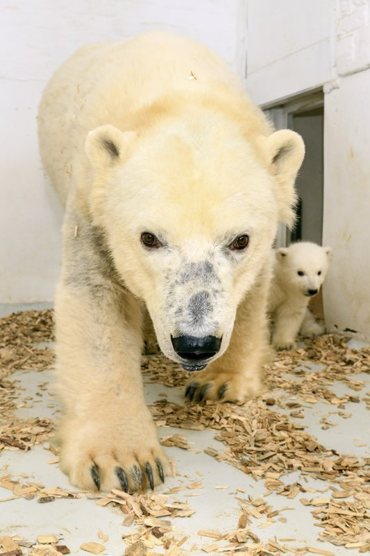 In this photo provide by the Tierpark in Berlin, Tuesday, Feb. 26, 2019, shows the female ice bear Tonya with her nameless cub. (Tierpark Berlin via AP)