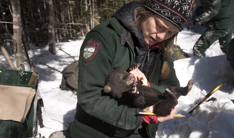 This photo taken Feb. 27, 2019, shows Lisa Feener, a wildlife technician with the Maine Department of Inland Fisheries & Wildlife, checking one of the four bear cubs in a den while working on the bear monitoring project in Edinburg, Maine. (Gabor Degre/The Bangor Daily News via AP)
