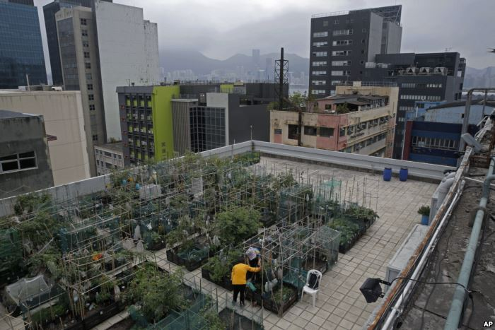 FILE - Farmers work at a rooftop vegetable garden of an industrial building i