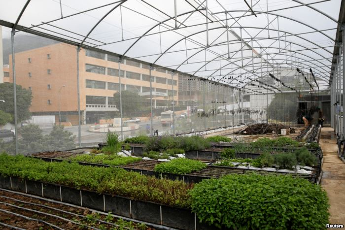 FILE - Men work in a greenhouse on the rooftop of a building in Caracas, Vene