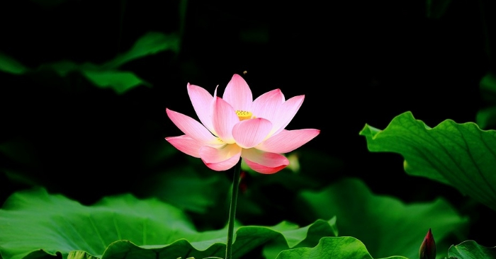 Do You Know The Meaning Behind The Lotus Flower Theblcom