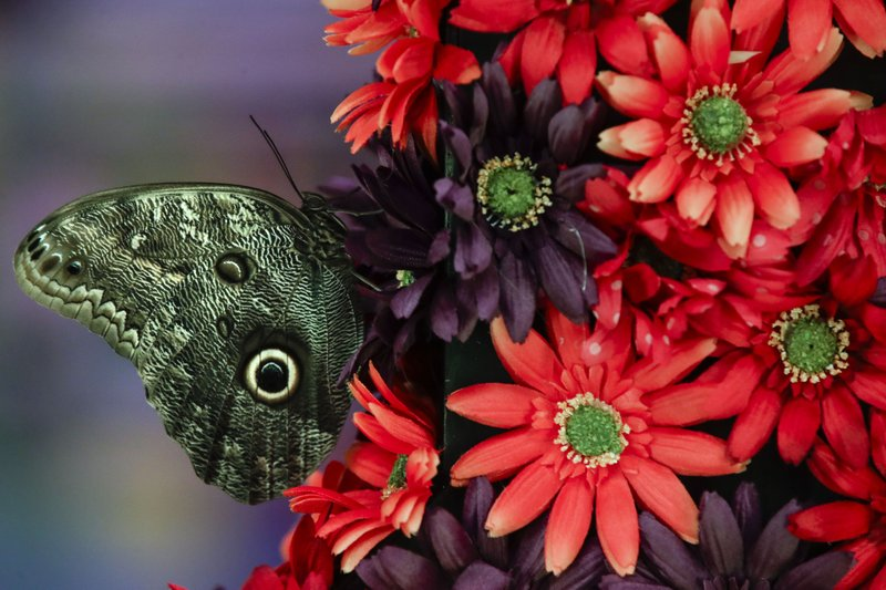 A butterfly sits upon an arraignment during a preview of the